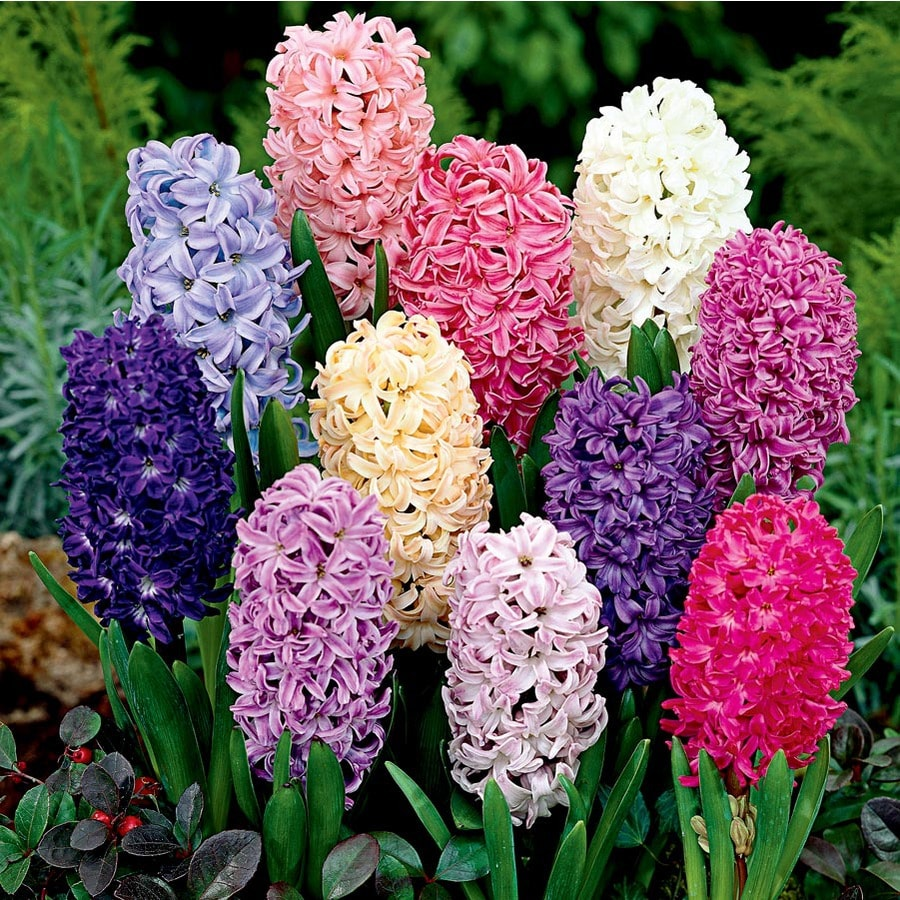 2.86-Quart Hyacinth Bulbs