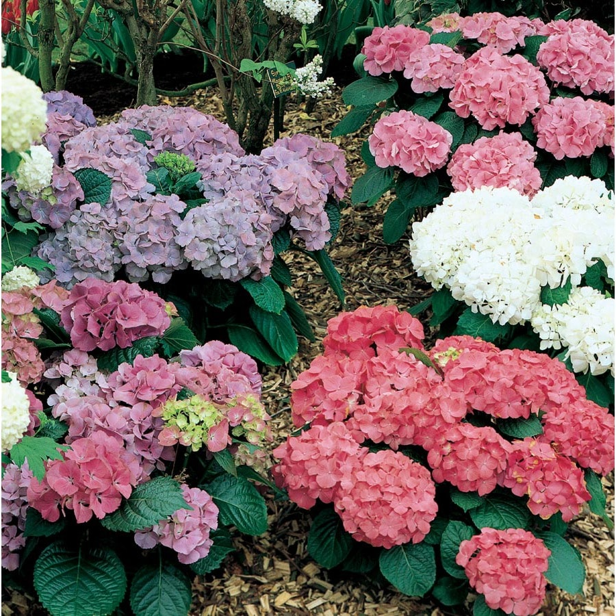 1.85-Quart Mixed Hydrangea Flowering Shrub (L6357)