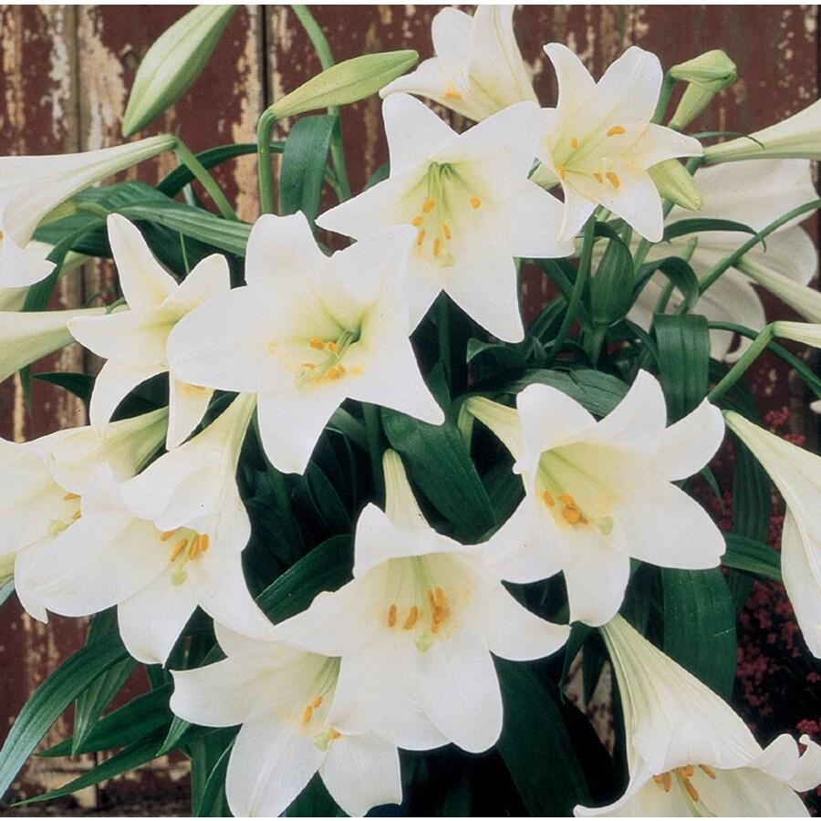 3-Quart Easter Lily (L2295)