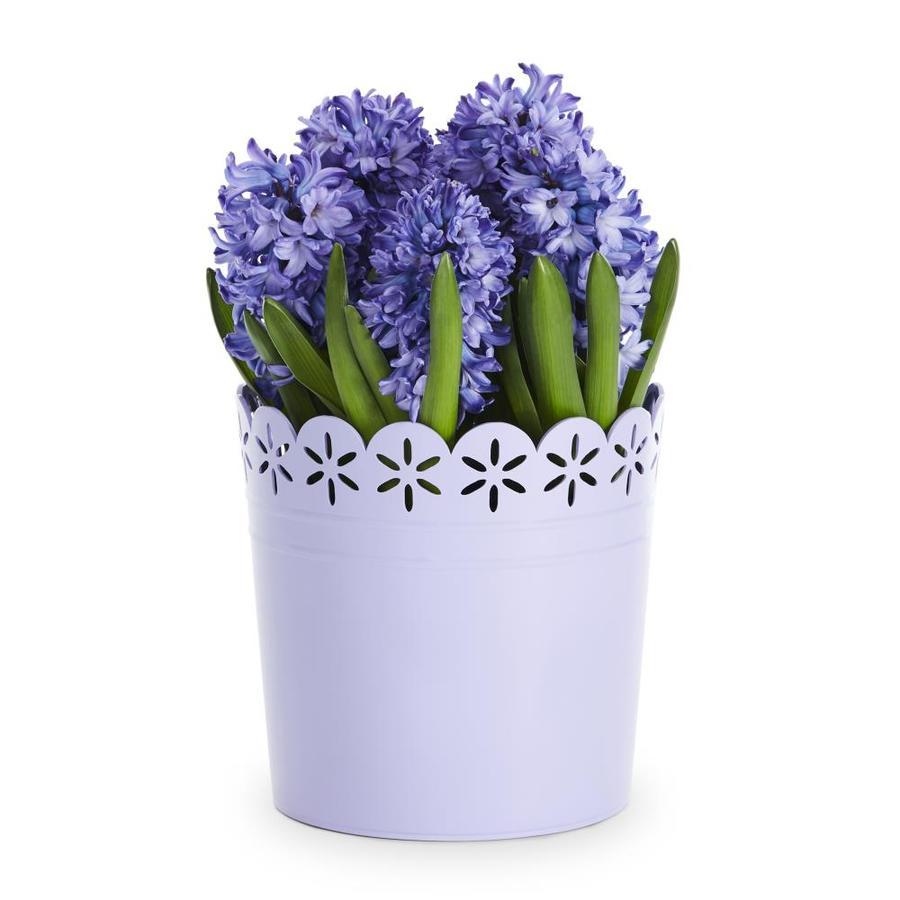 3-Quart Hyacinth Bulbs