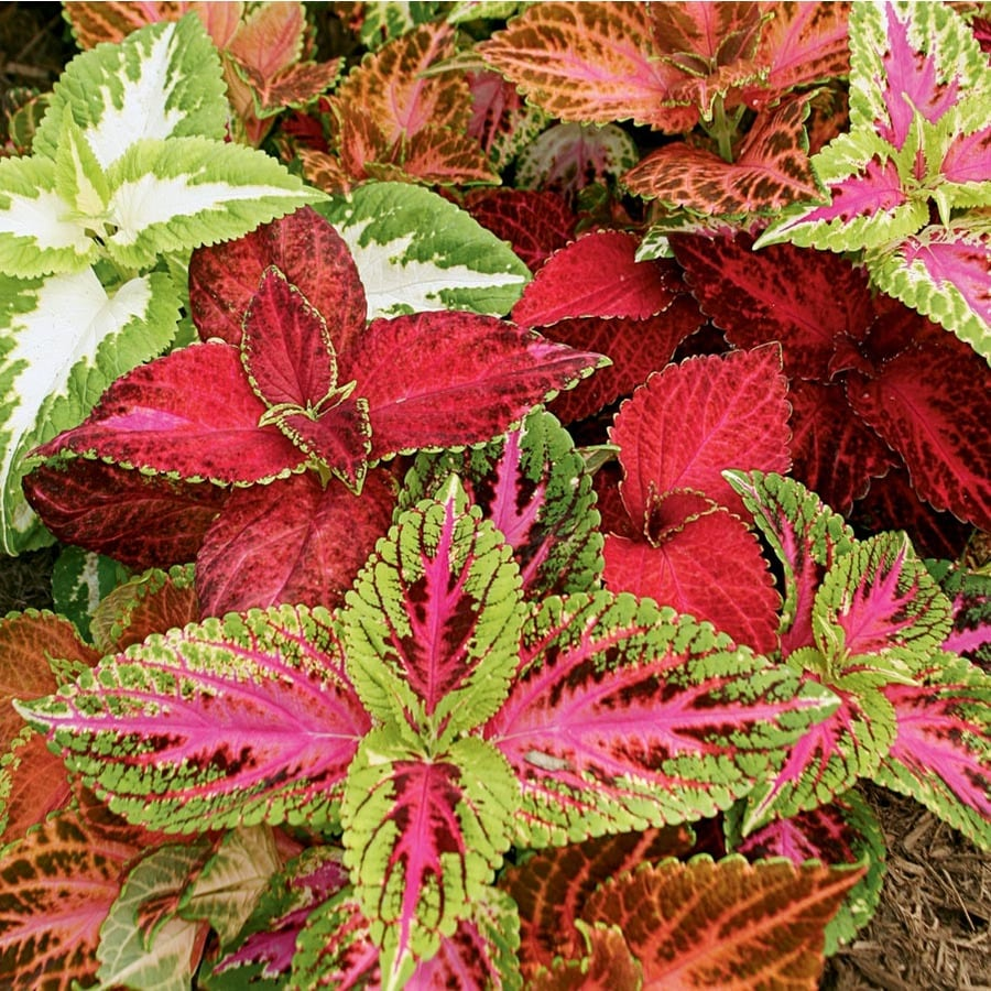 2.50-QT FALL COLORS OF COLEUS
