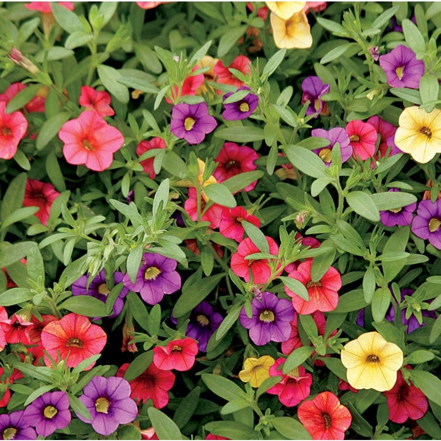 1-Quart Calibrachoa (L17603)