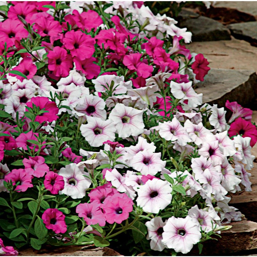 2.5-Quart Wave; Series Petunia (L00983)