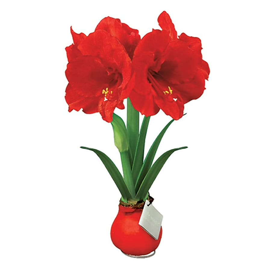 Shop 6 In Amaryllis Bulbs At Lowes