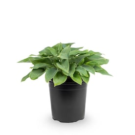 2.5-Quart in Pot Hosta (Lb029)