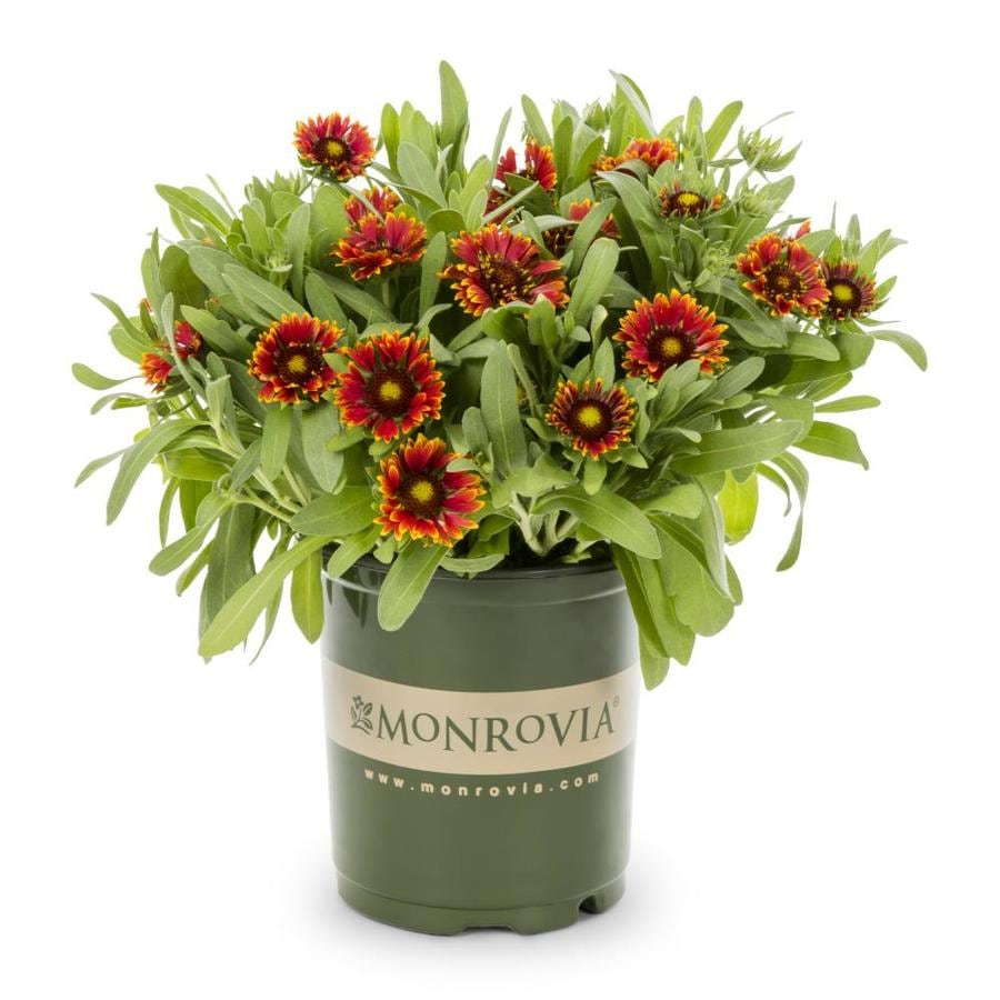 Monrovia 2 5 Quart In Pot Blanket Flower In The Perennials Department At Lowes Com