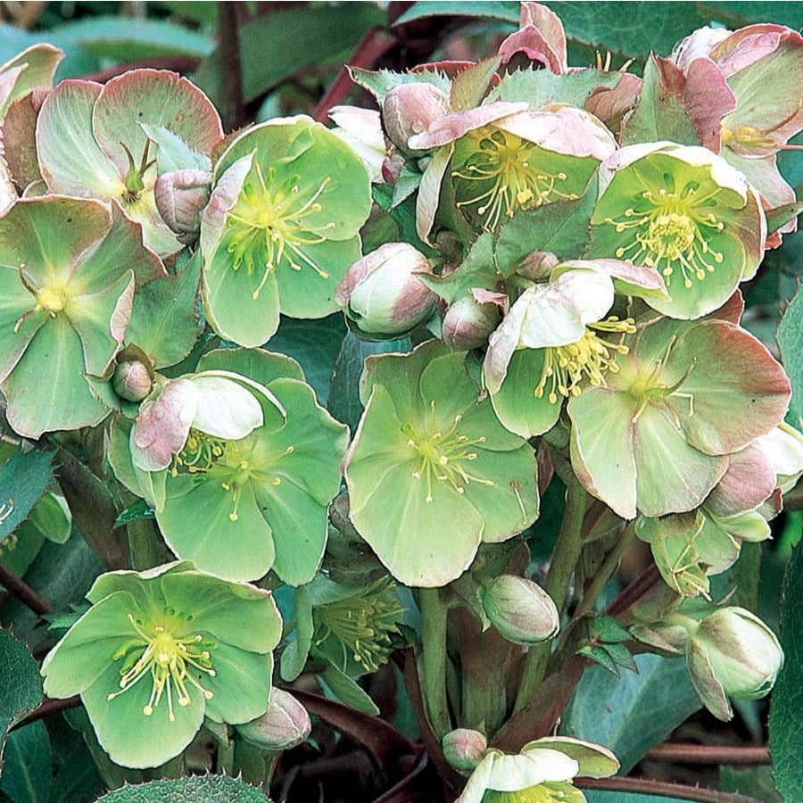 2.11-Quart Lenten Rose (L10982)