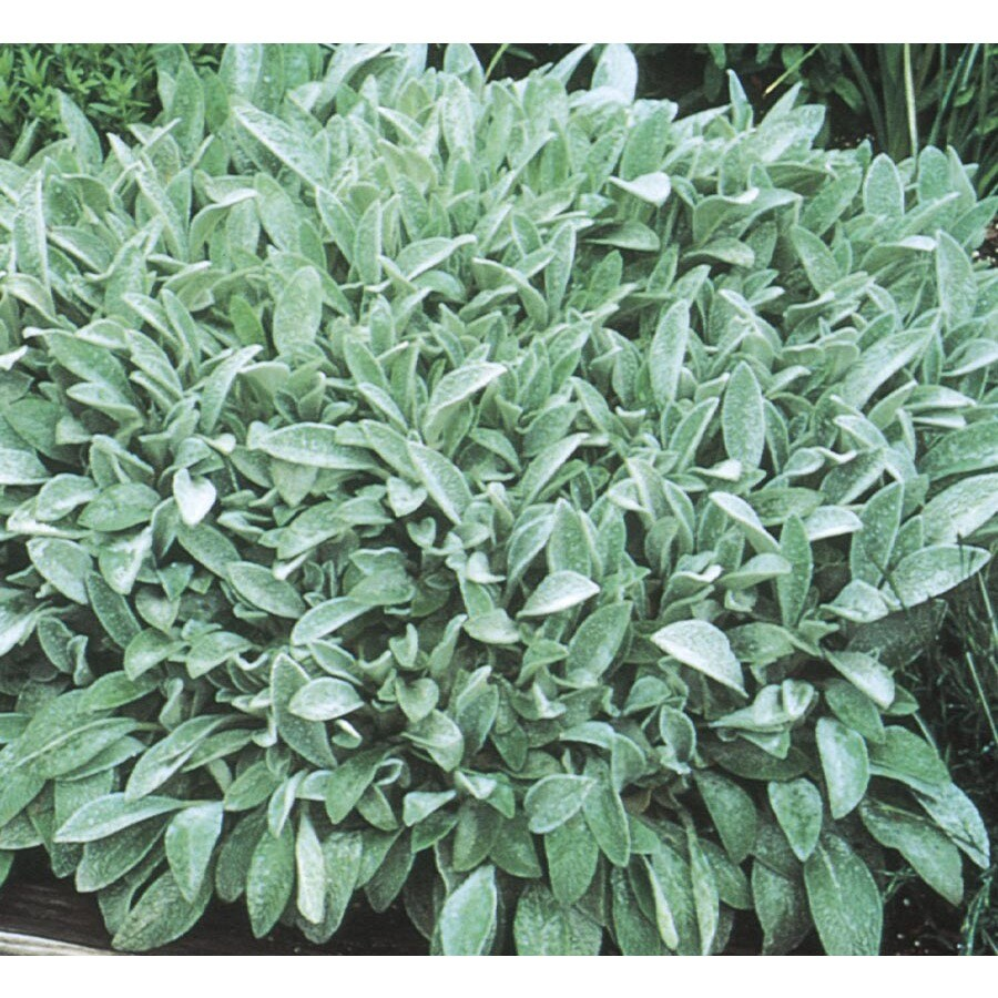 2.5-Quart Lamb's Ear (L5307)
