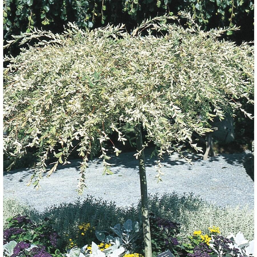 Shop 16 gallon dappled willow tree feature tree l11651 at lowes 16 gallon dappled willow tree feature tree l11651 mightylinksfo