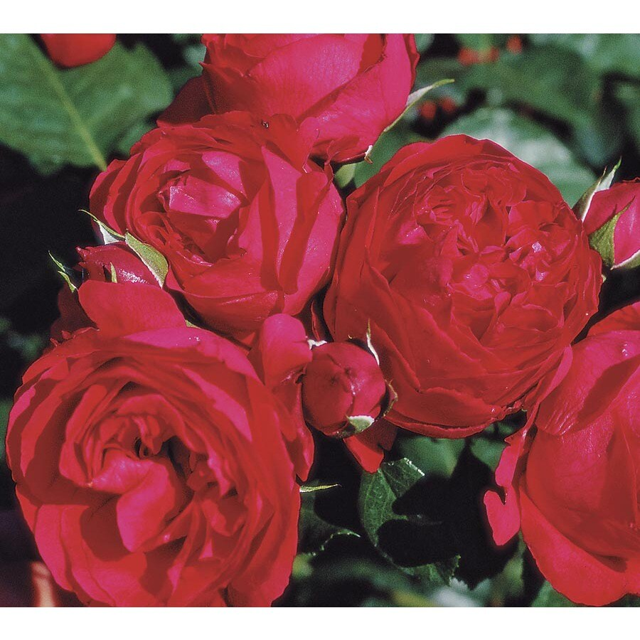 1.6-Gallon Ramblin Red Rose (L25611)