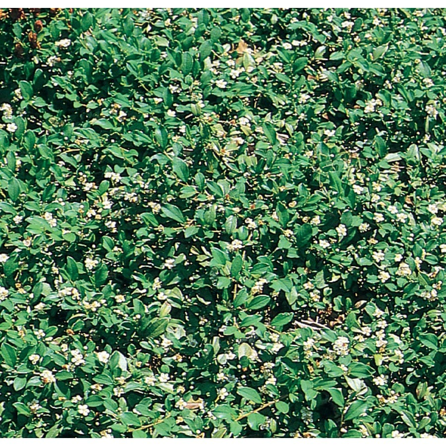 1.5-Gallon White Bearberry Cotoneaster Flowering Shrub (L5176)