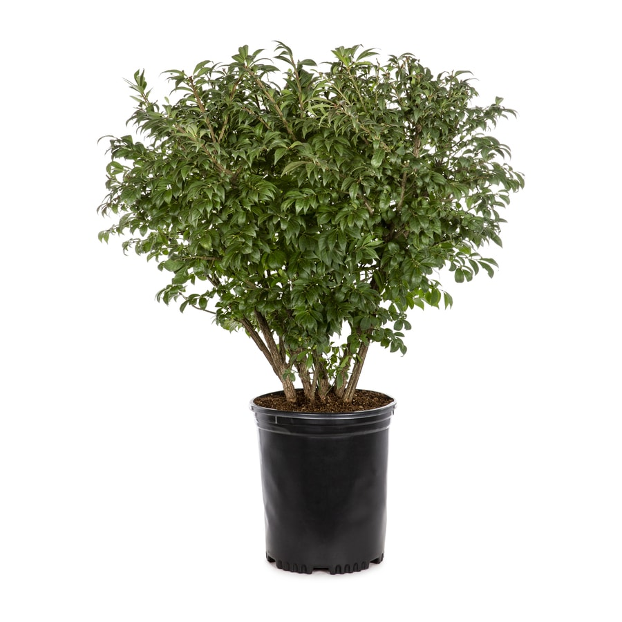 Dwarf Burning Bush Foundation Hedge Shrub In Pot With