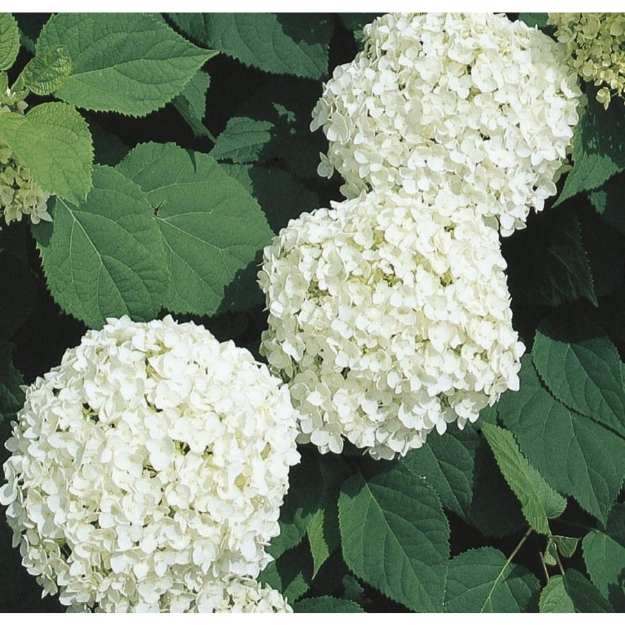 Shop 25 Gallon White Annabelle Hydrangea Flowering Shrub L6812 At