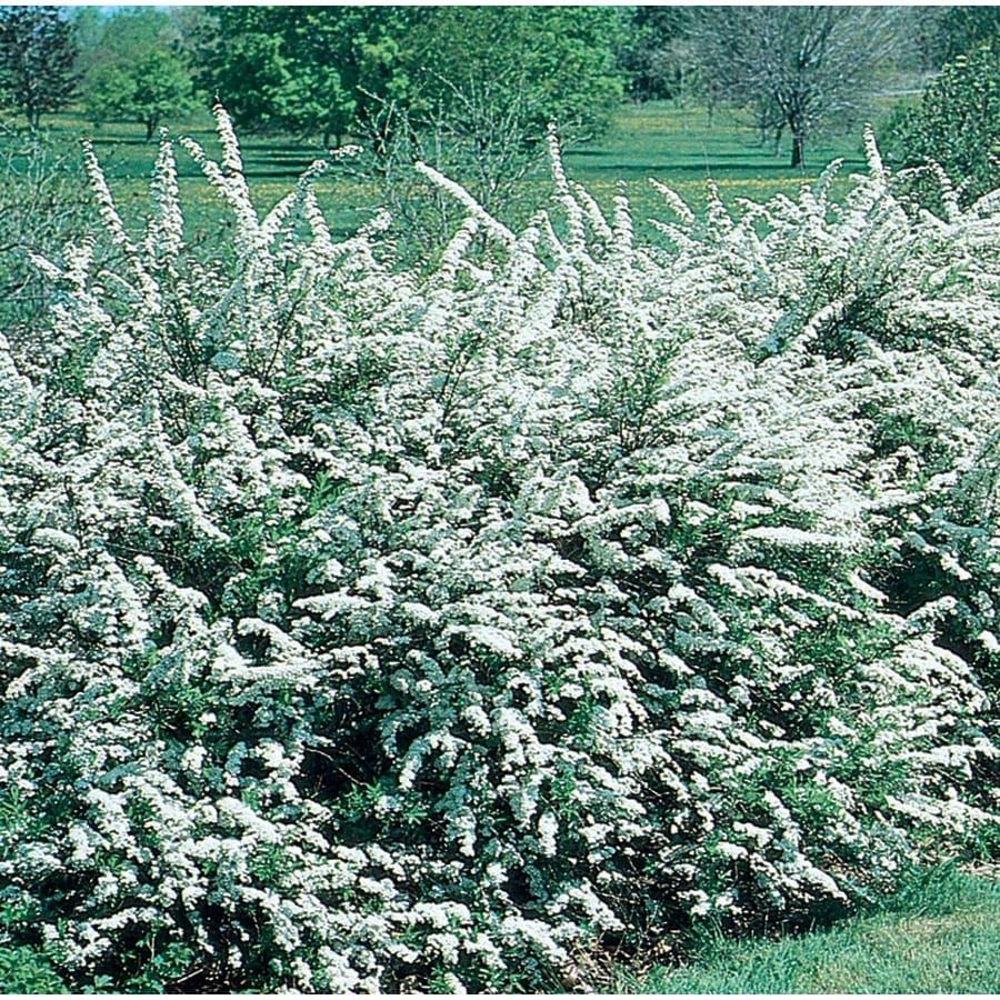 1.5-Gallon White Snowmound Spirea Flowering Shrub (L11776)