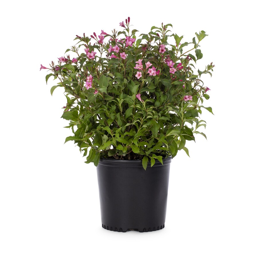 1.6-Gallon Red Red Prince Weigela Flowering Shrub (L4213)