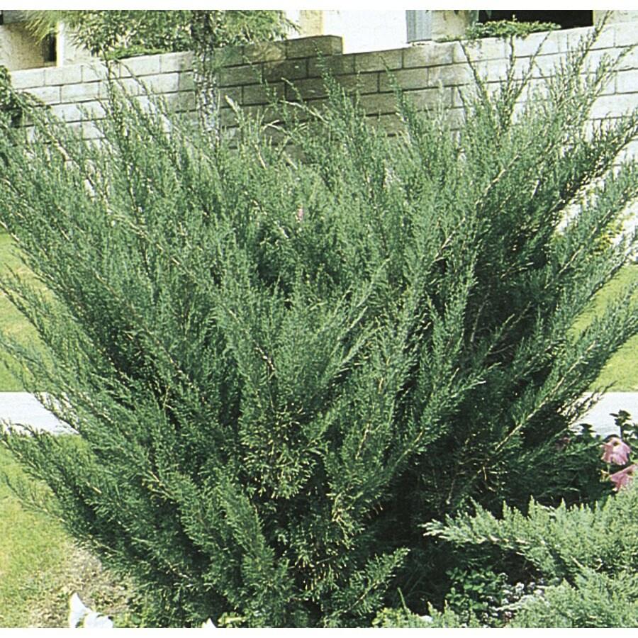 1.6-Gallon Sea Green Juniper Accent Shrub (L3045)