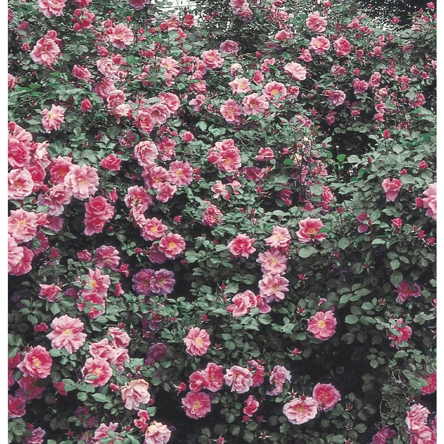 1.6-Gallon Carefree Beauty Rose (L7561)