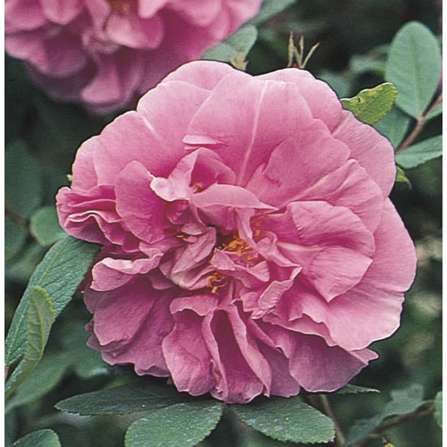 1.6-Gallon Therese Bugnet Rose (L7559)