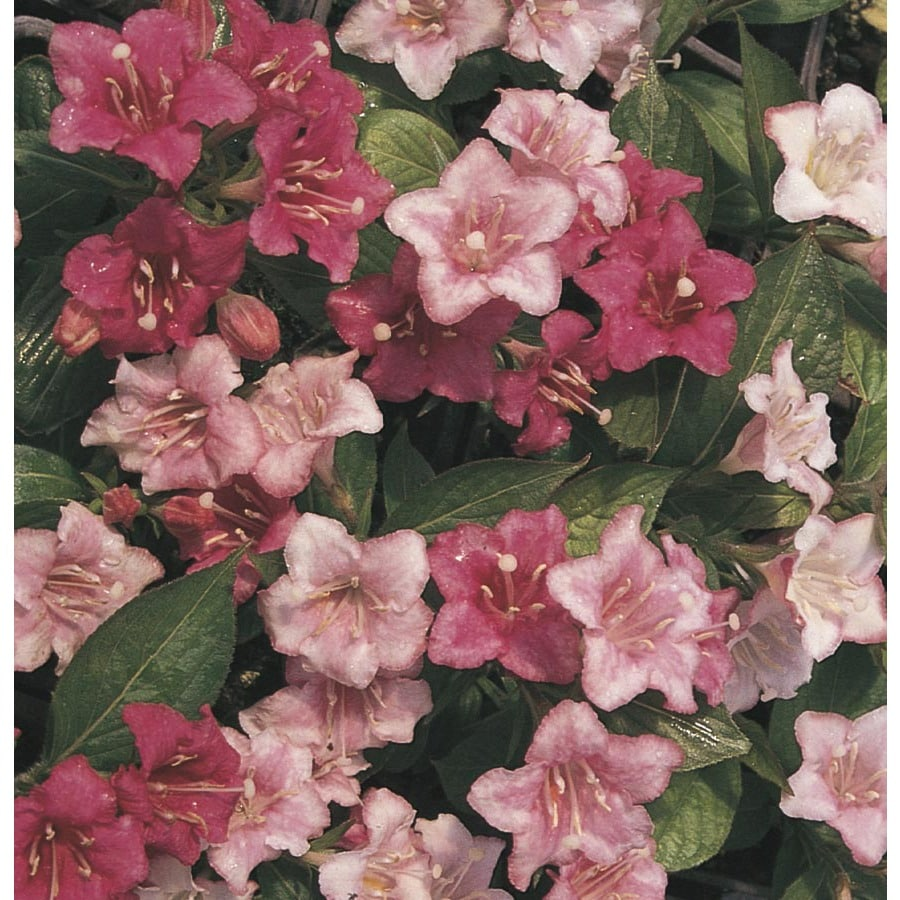 1.6-Gallon Bicolor Carnaval Weigela Flowering Shrub (L14397)