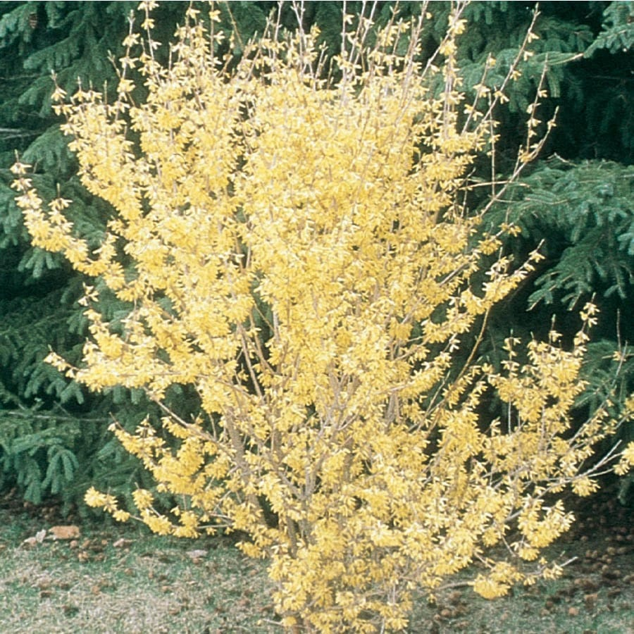 1.5-Gallon Yellow Northern Gold Forsythia Flowering Shrub (L3492)