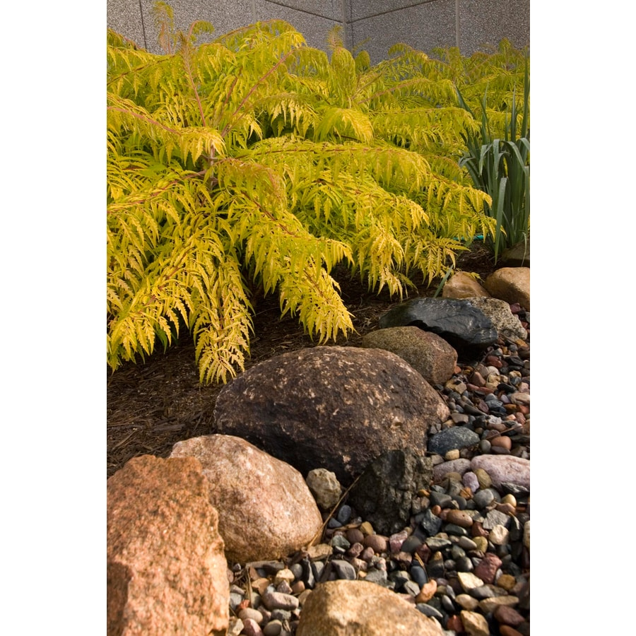First Editions 3.58-Gallon Feature Shrub