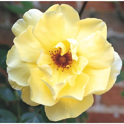 In Yellow Carefree Sunshine Rose (L2705) at Lowes com