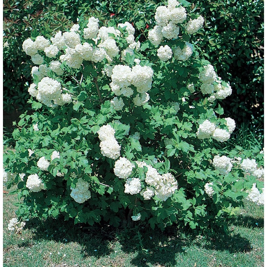 1.5-Gallon White Common Snowball Viburnum Flowering Shrub (L5960)