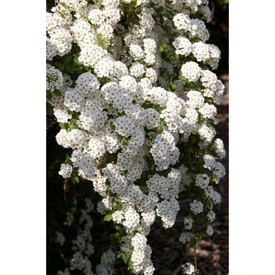1.5-Gallon White Renaissance Spiraea Foundation/Hedge Shrub
