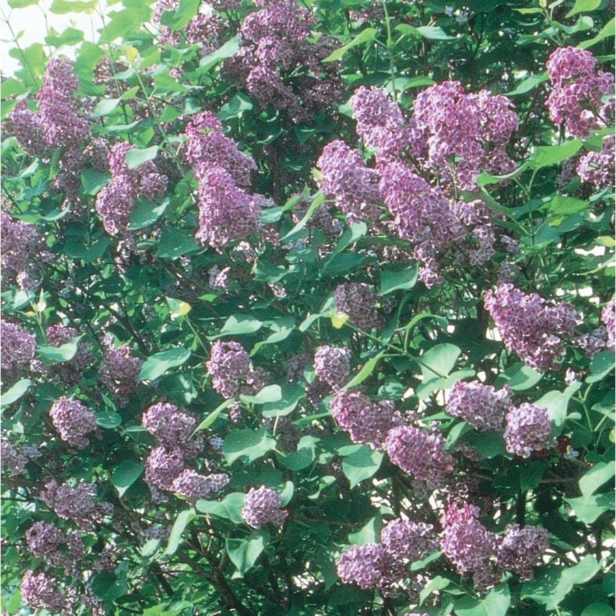 1.5-Gallon Purple Pocahontas Lilac Flowering Shrub (L5723)