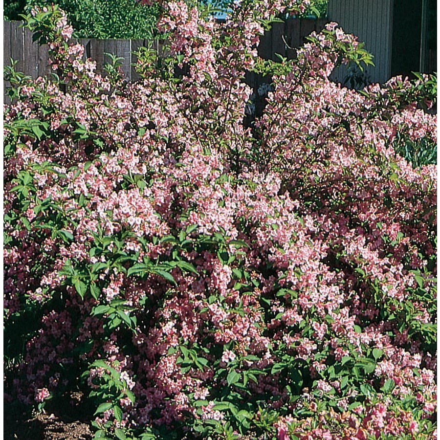 1.5-Gallon Bicolor Minuet Weigela Flowering Shrub (L4210)