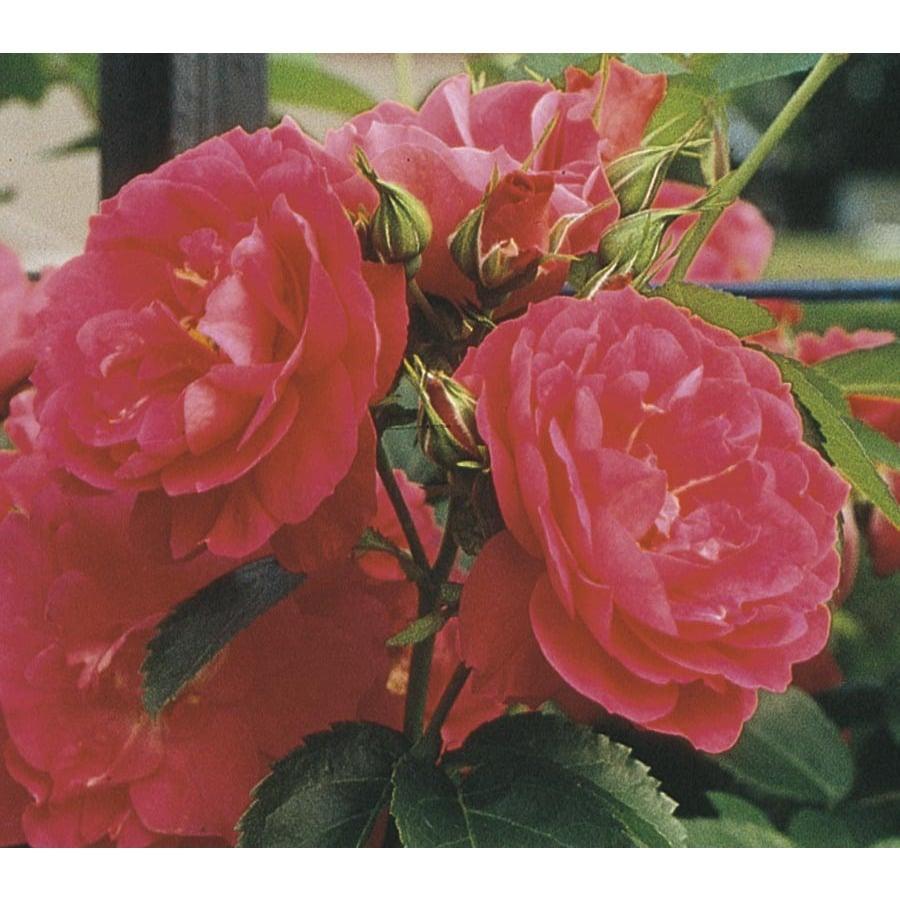1.6-Gallon John Cabot Rose (L9794)
