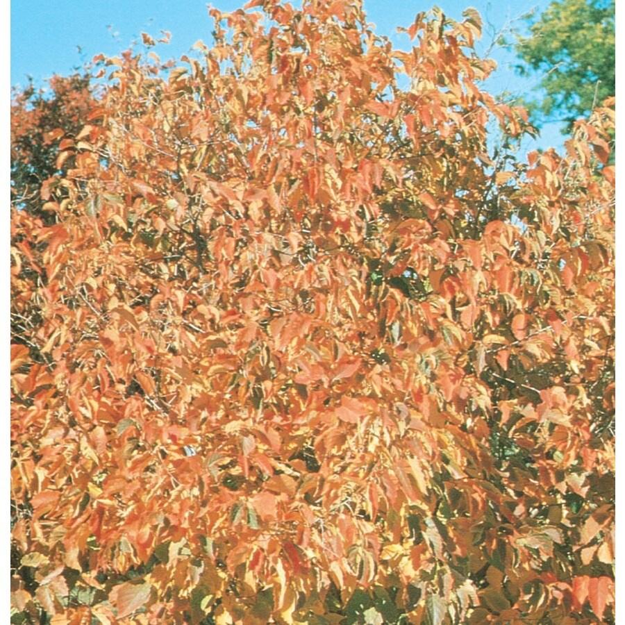 3.5-Gallon Hazelnut Shade Tree (L4902)