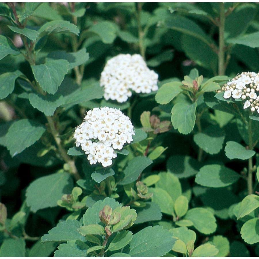 Shop 15 Gallon White Birchleaf Spirea Flowering Shrub L14739 At