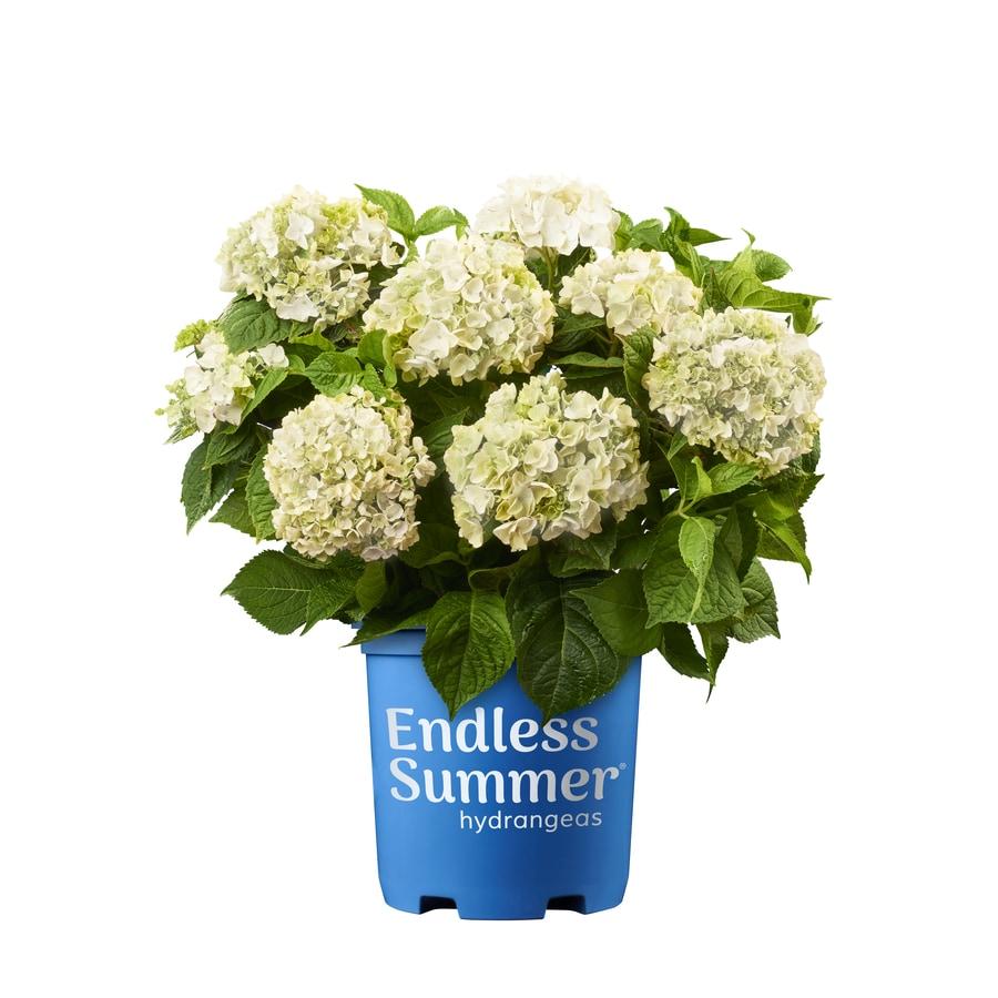 Endless Summer 2.5-Gallon White Flowering Shrub