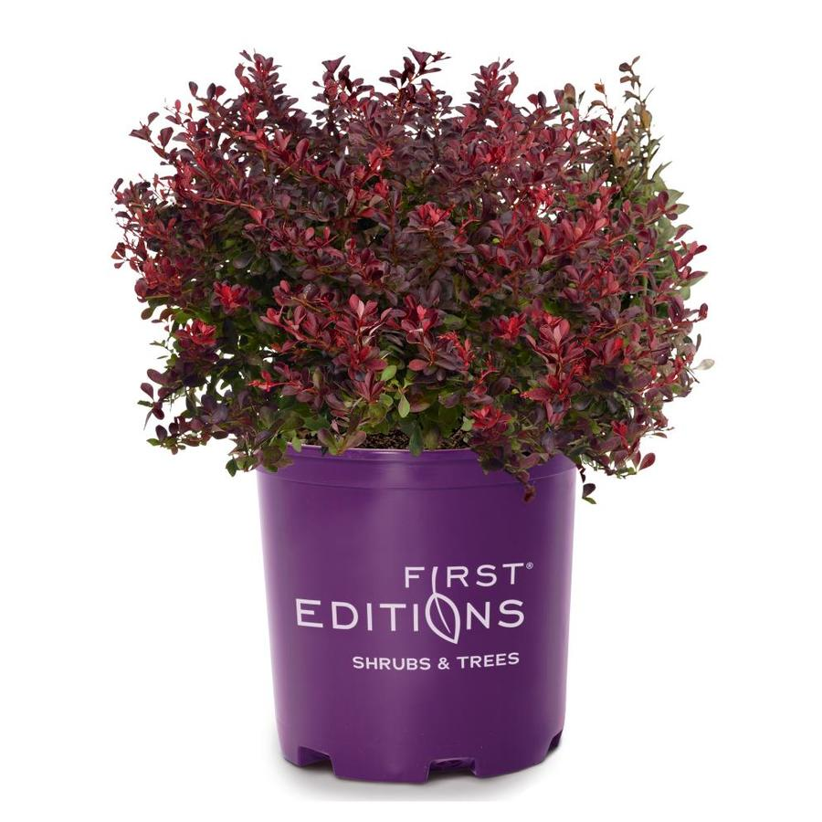 First Editions 1.6-Gallon Barberry Cabernet