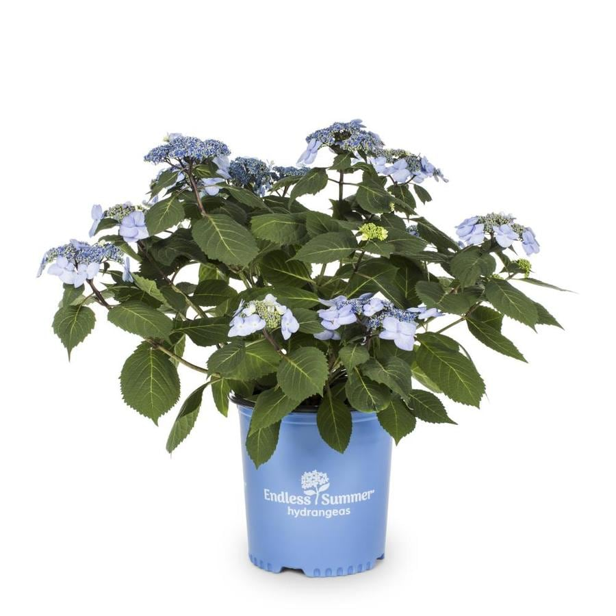 Endless Summer 3.58-Gallon Twist-N-Shout Hydrangea