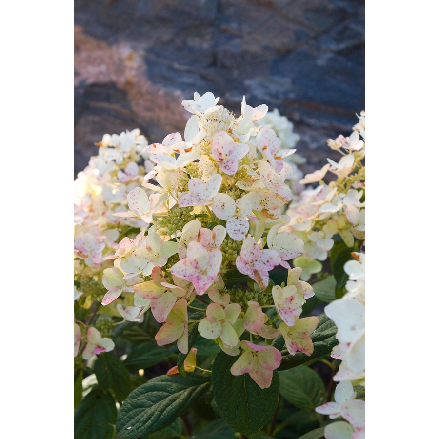 First Editions 1.6-Gallon Tickled Pink Hydrangea