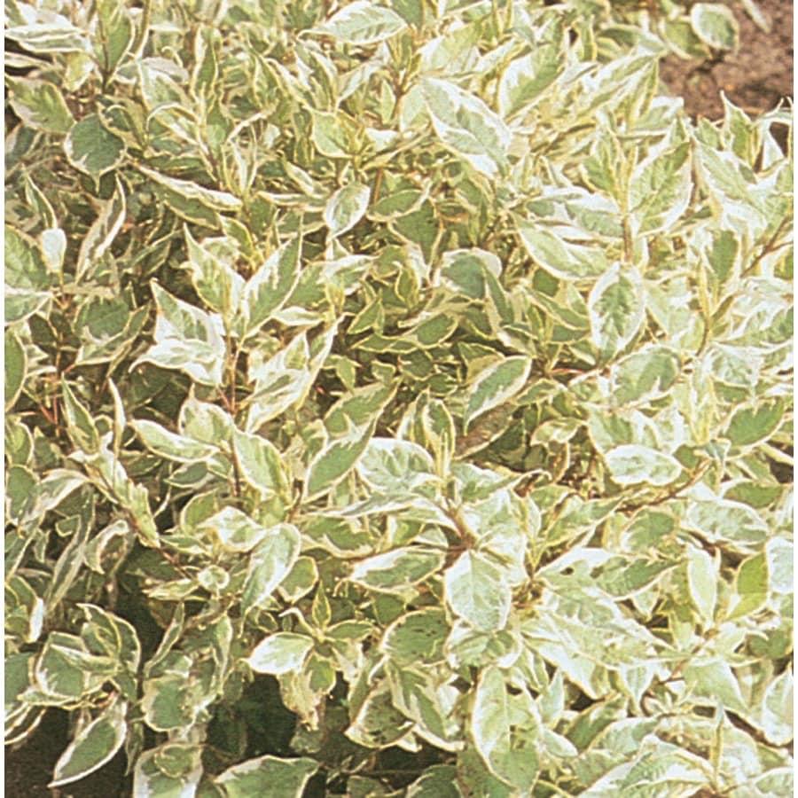 3.58-Gallon White Ivory Halo Dogwood Flowering Shrub (L9847)