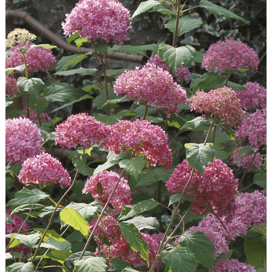 Shop 1 6 gallon pink bella anna hydrangea flowering shrub for Pink flowering shrubs