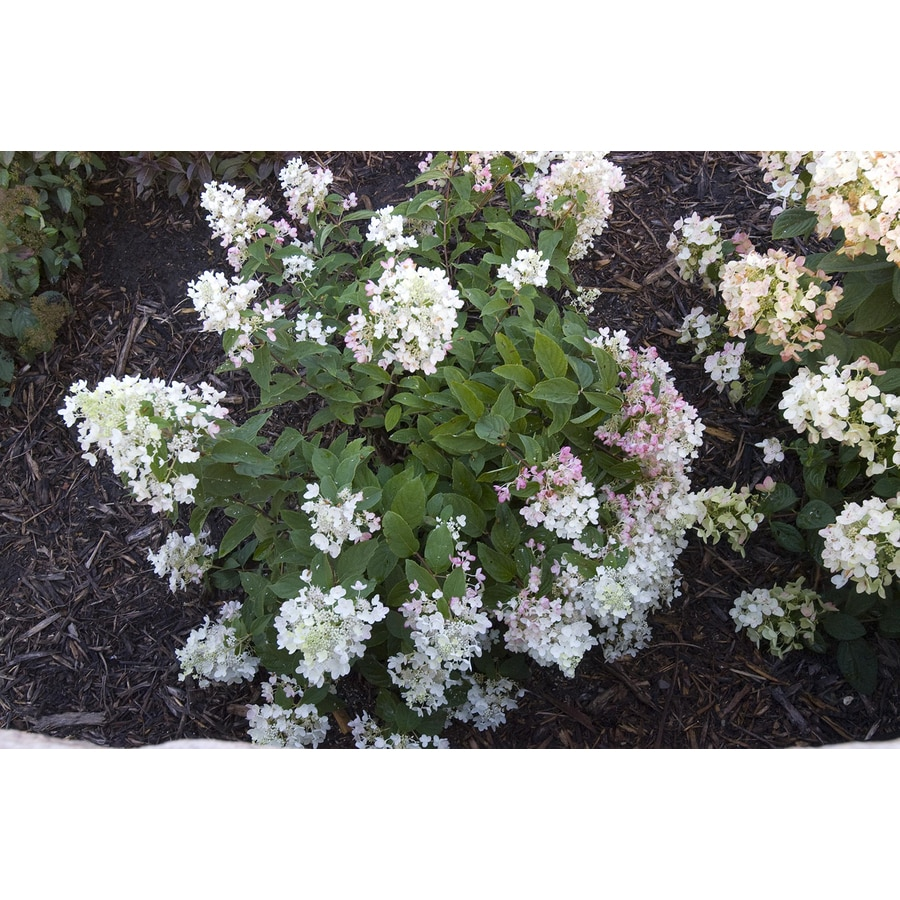 1.6-Gallon Mixed Hardy Hydrangea Flowering Shrub