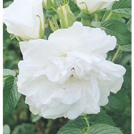 1 6 Gallon Blanc Double De Coubert Rose L21845
