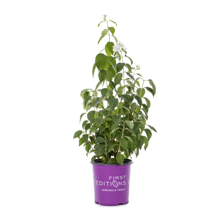 Shop First Editions 16 Gallon White Flowering Shrub At Lowes