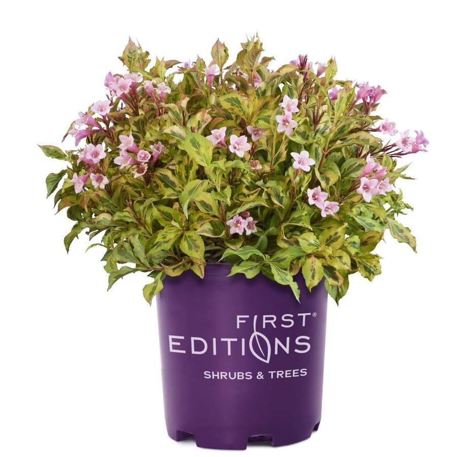 Shop First Editions 16 Gallon Pink Flowering Shrub At Lowes