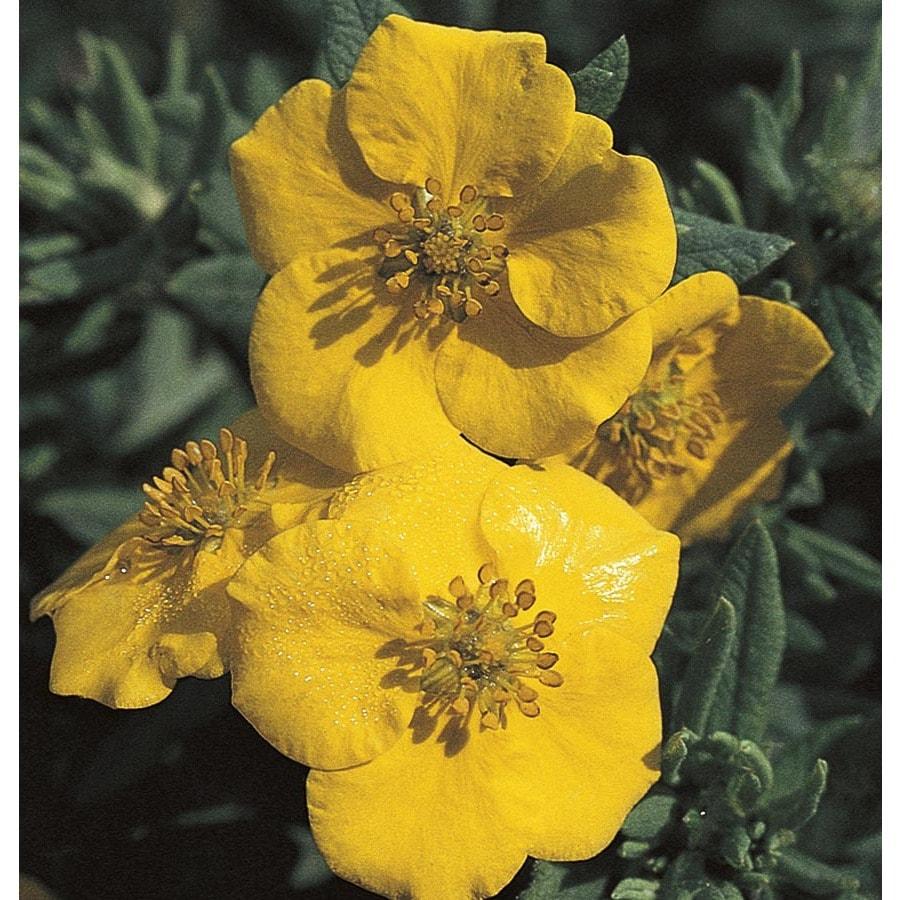 2.5-Quart Yellow Dakota Goldrush Potentilla Flowering Shrub (L23856)