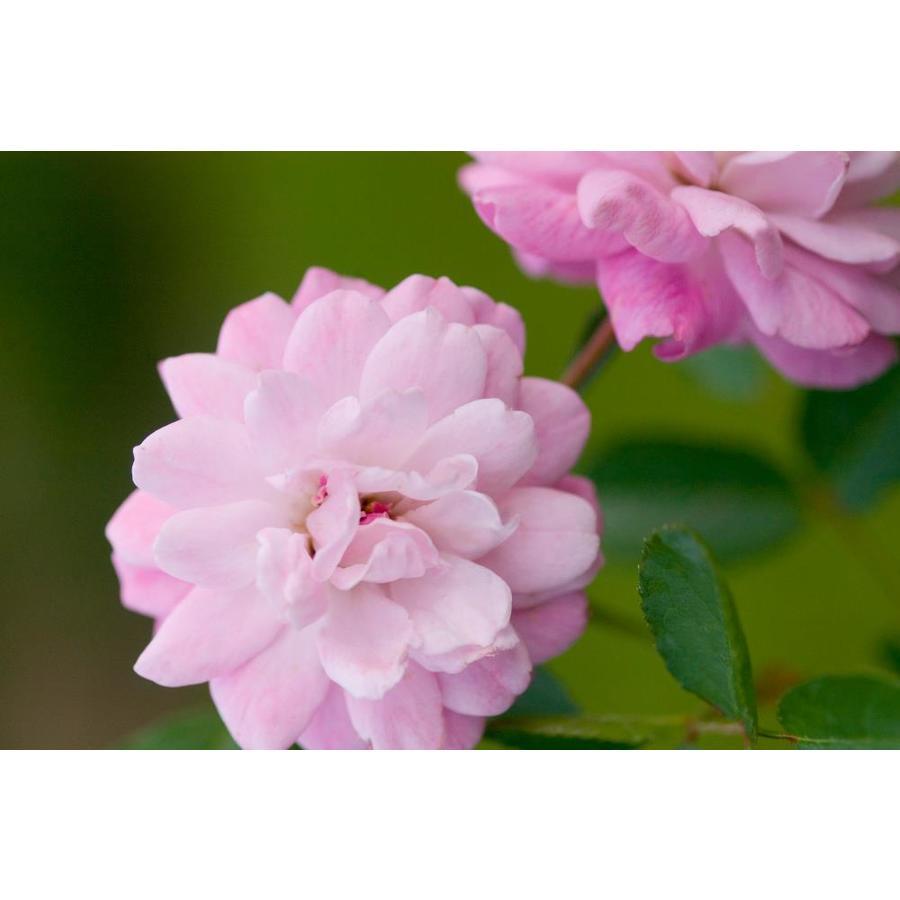 Shop Easy Elegance 16 Gallon Pink Head Over Heels Rose Flowering