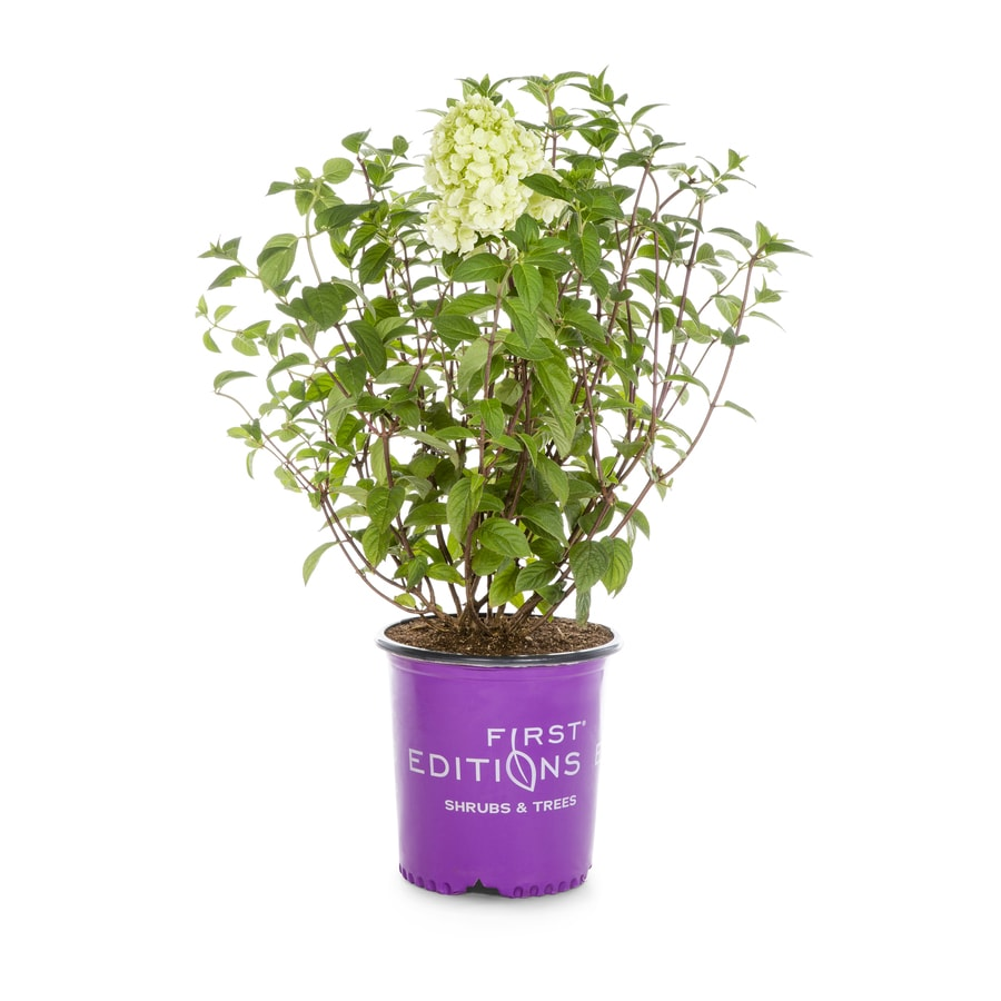 1.5-Gallon Mixed Hardy Hydrangea Flowering Shrub