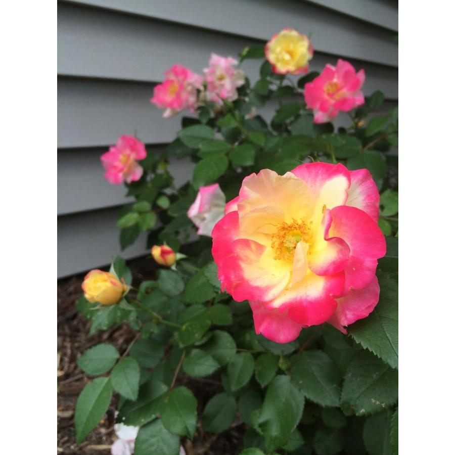 First Editions 1.6-Gallon Pink Flowering Shrub
