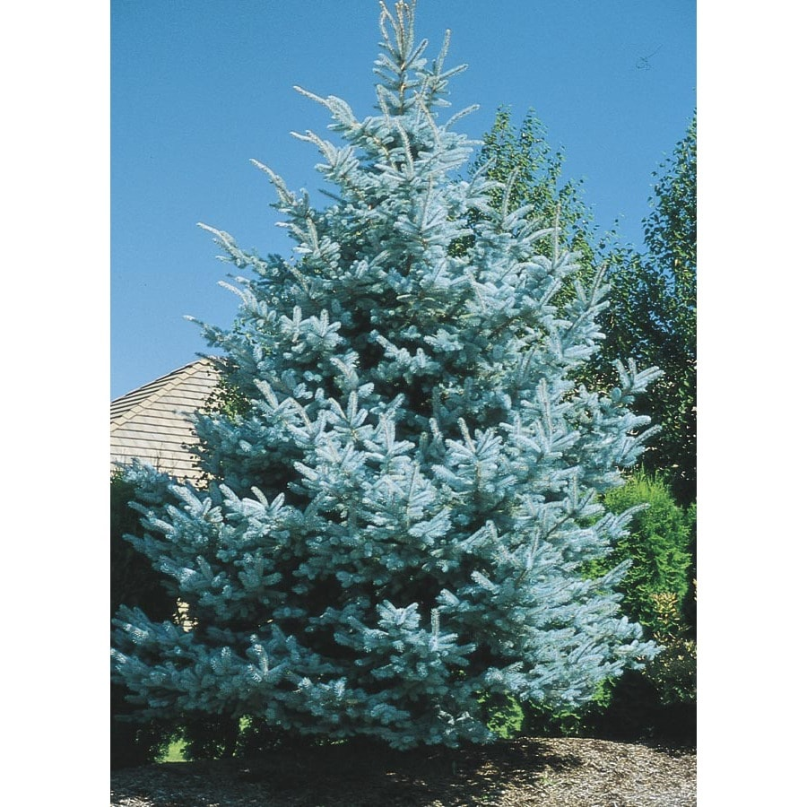 2.5-Gallon Baby Blue Colorado Spruce Feature Tree (Lw03826)