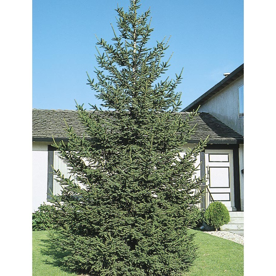 3-in Norway Spruce Feature Tree (L1244)