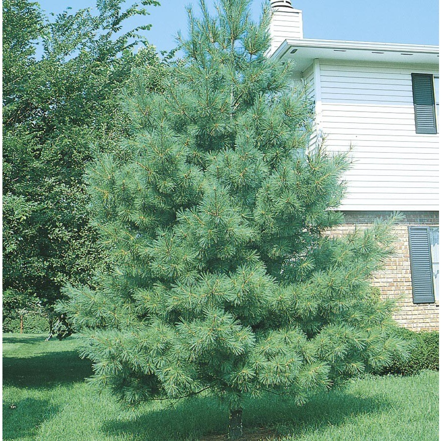 3-in Eastern White Pine Screening Tree (L3619)